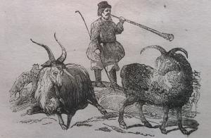 Пастух, стадо, козы, коза