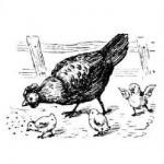Курица, цыплята