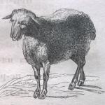 Овца, овечка, домашний скот