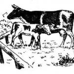 Корова, теленок