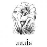 Лилия, цветок