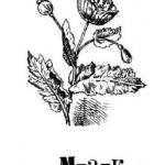 Мак, растение