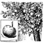 Яблоко, яблоня