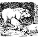 Свиньи, свинья