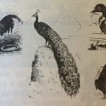 Курица, павлин, утка, гусь, индюк