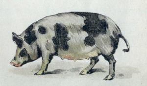 Свинья, поросенок
